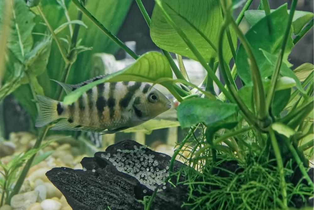 convict cichlid spawning