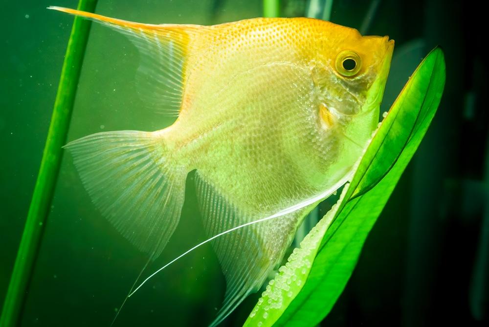 angelfish laying eggs