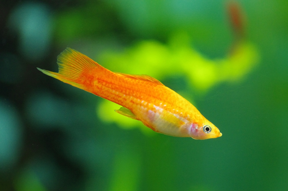 yellow swordtail