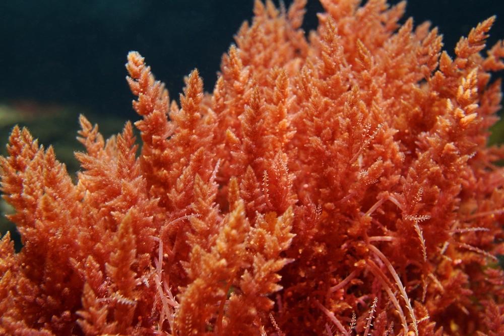 macroalgae saltwater plant