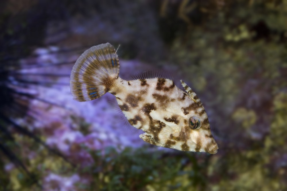 Bristle-tail filefish (Acreichthys tomentosus)