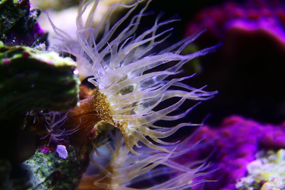 Aiptasia anemone in saltwater aquarium