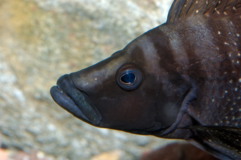 black calvus cichlid