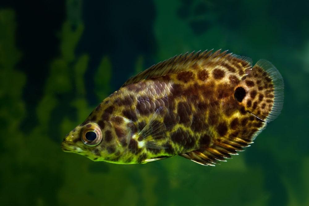 Ctenopoma acutirostre leopard