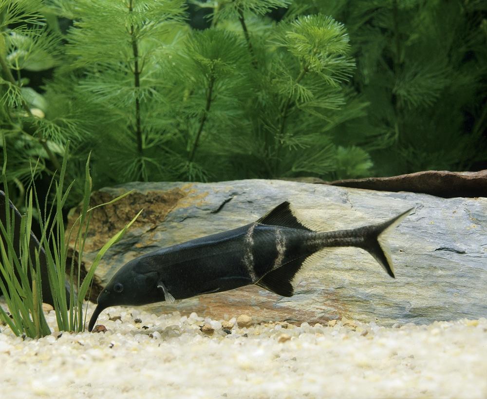 Elephant Nose Fish