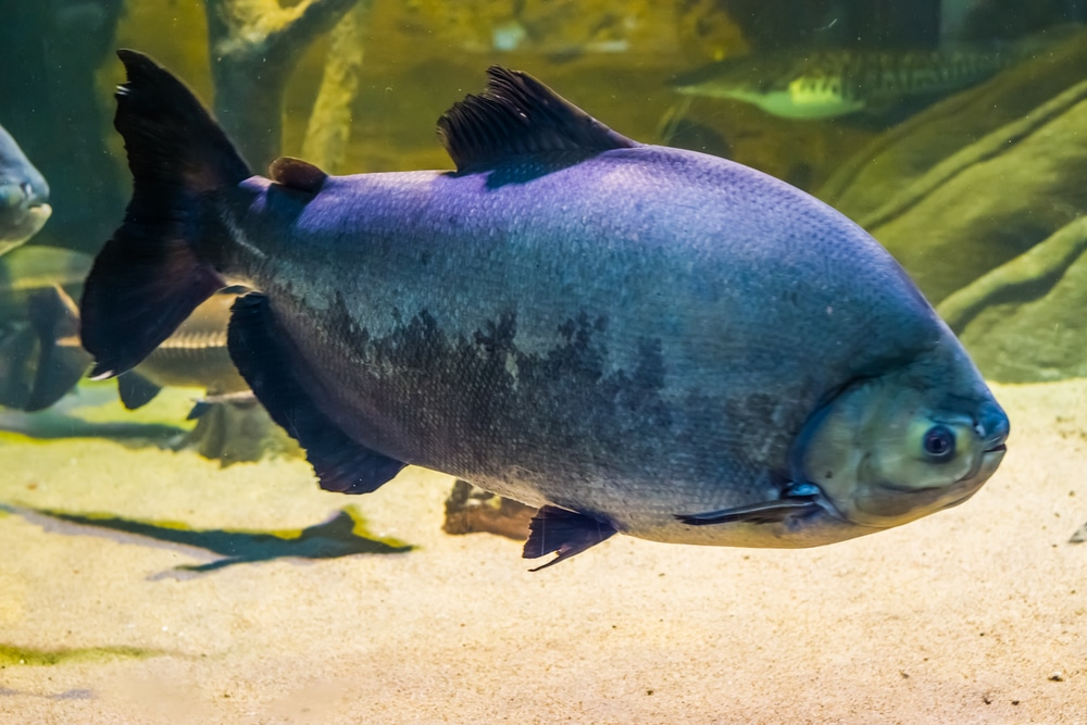 Giant black pacu
