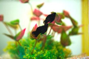 black aquarium fish