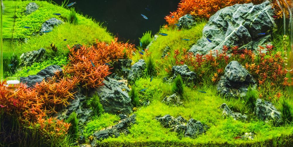 Planted Aquarium with red plants