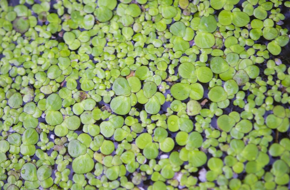 duckweed plant