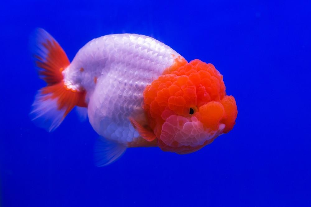 ranchu goldfish
