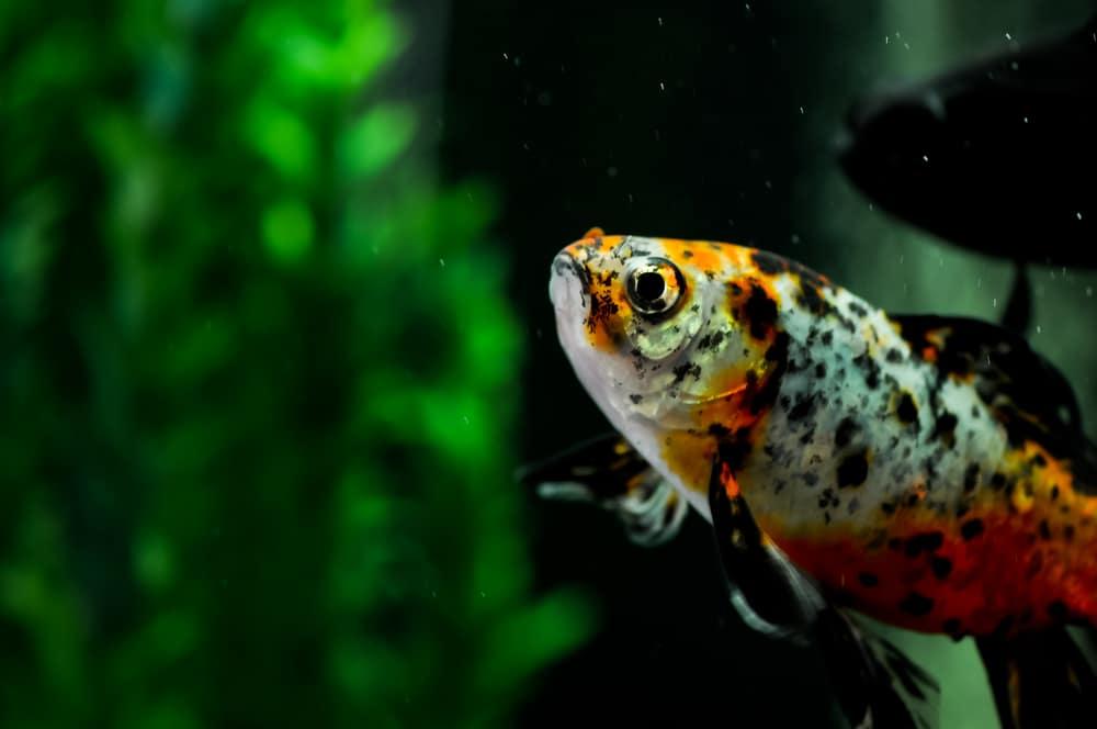 Japanese Shubunkin goldfish