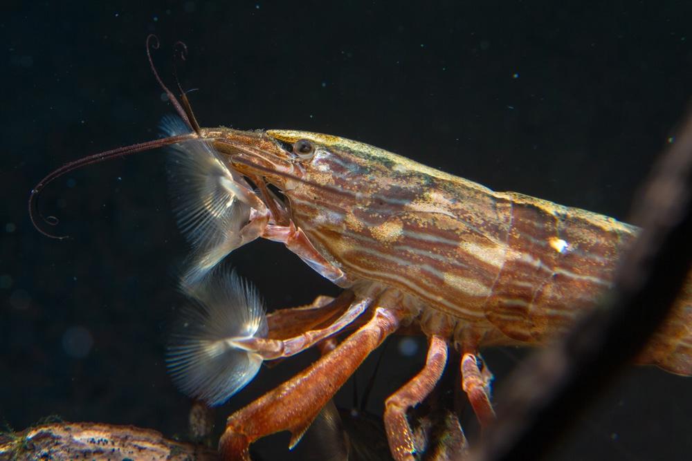 Bamboo shrimp (Atyopsis moluccensis)