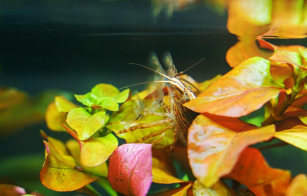 Freshwater Bamboo Shrimp. Atyopsis moluccensis.