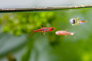 chili rasbora in aquarium