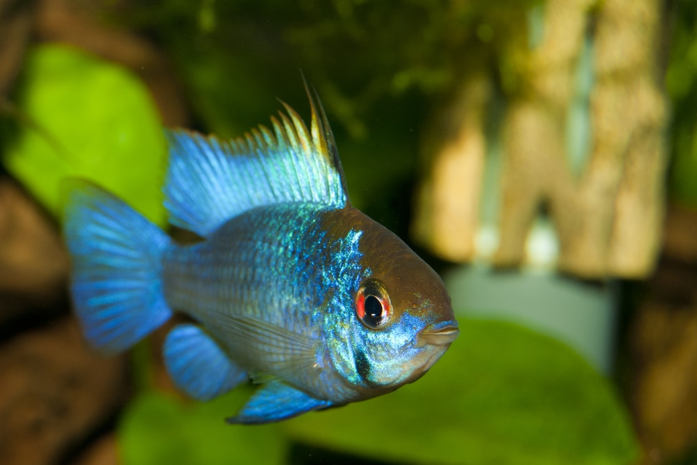 Electric Blue Ram (Mikrogeophagus ramirezi)