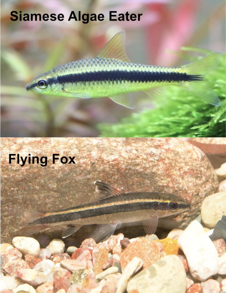 siamese algae eater vs flying fox