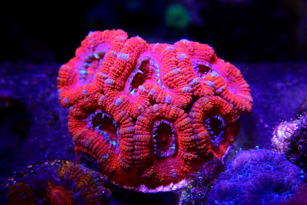 acan coral