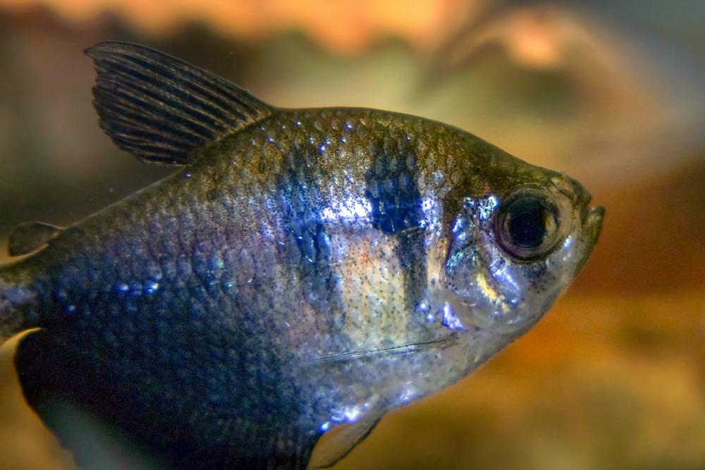 Black Skirt Tetra in the aquarium