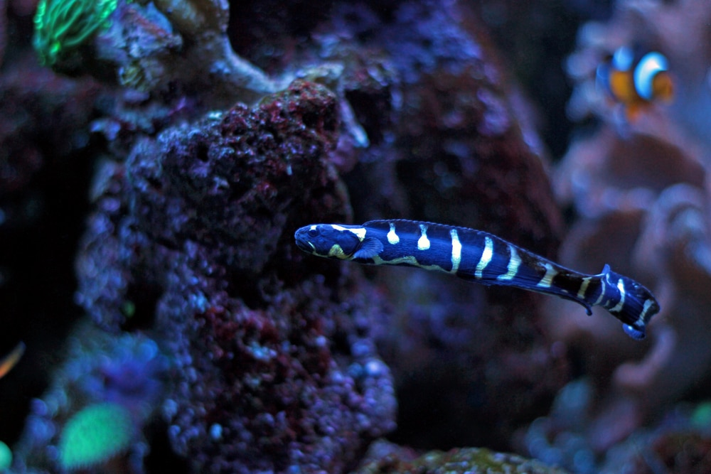 engineer goby