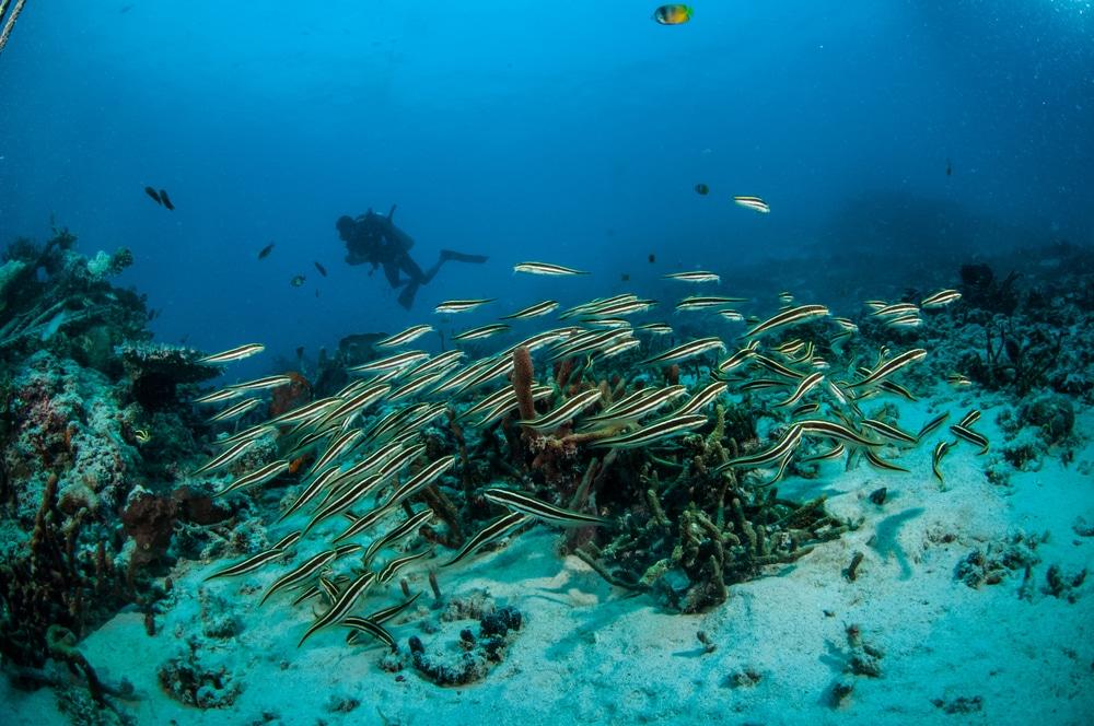 School of Engineer Gobies on the Reef