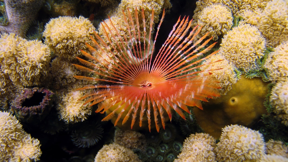 Feather duster worm coral