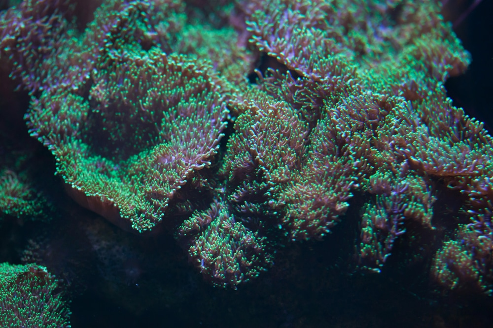 green hairy mushroom coral