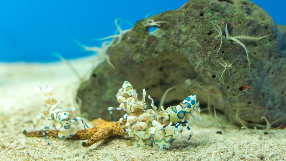 Harlequin shrimp eating a starfish
