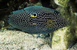 COMET FISH calloplesiops altivelis marine betta
