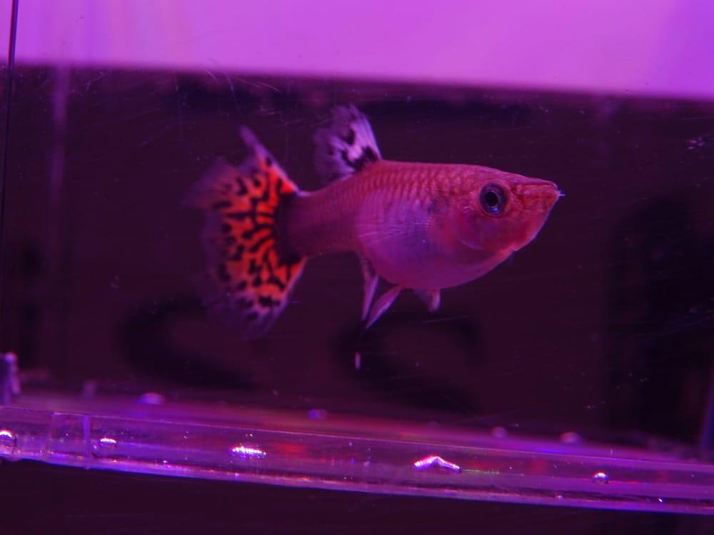 pregnant guppy in breeding box
