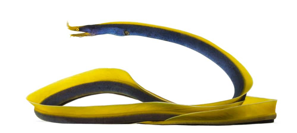 Side view of a Ribbon Eel