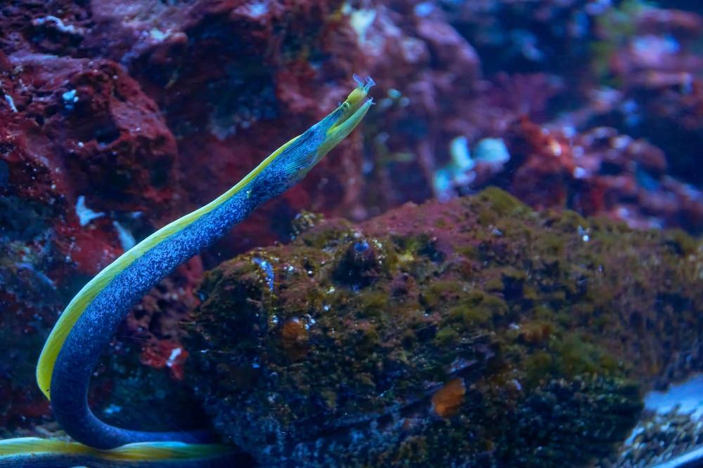 ribbon eel in aquarium