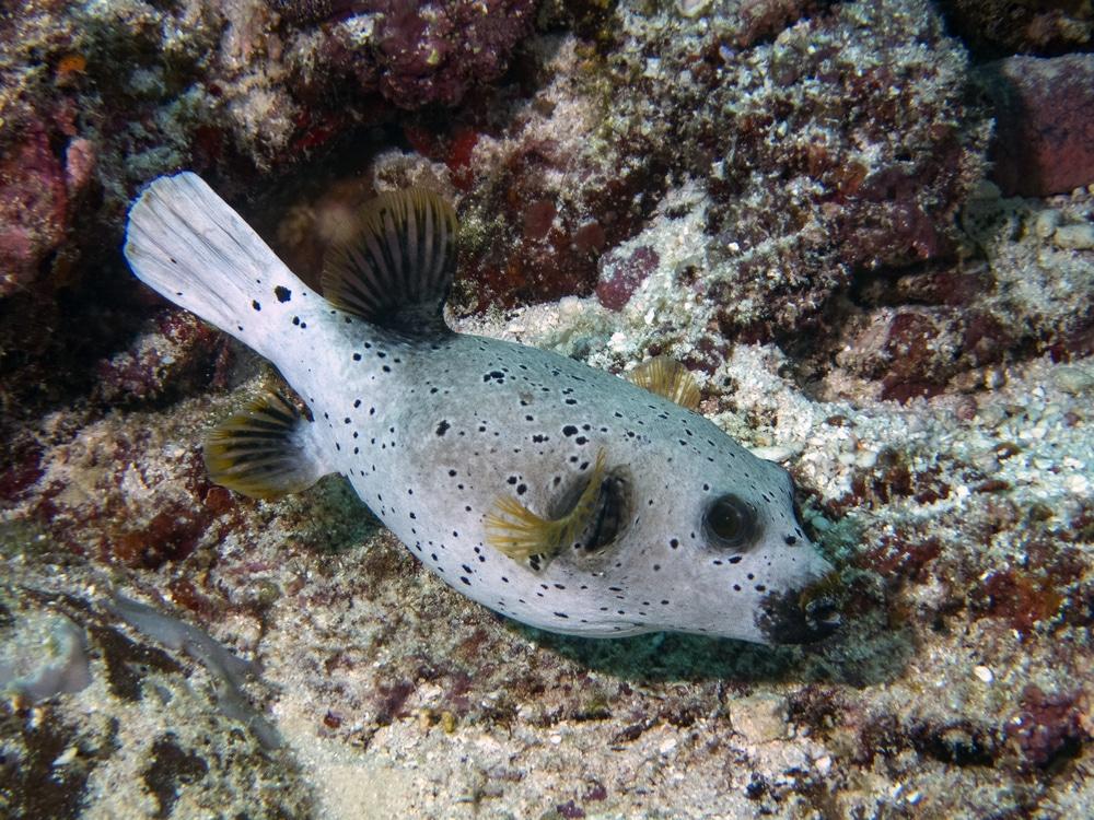 dogface puffer fish