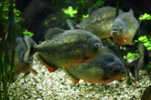 Red-bellied piranha (Pygocentrus nattereri)