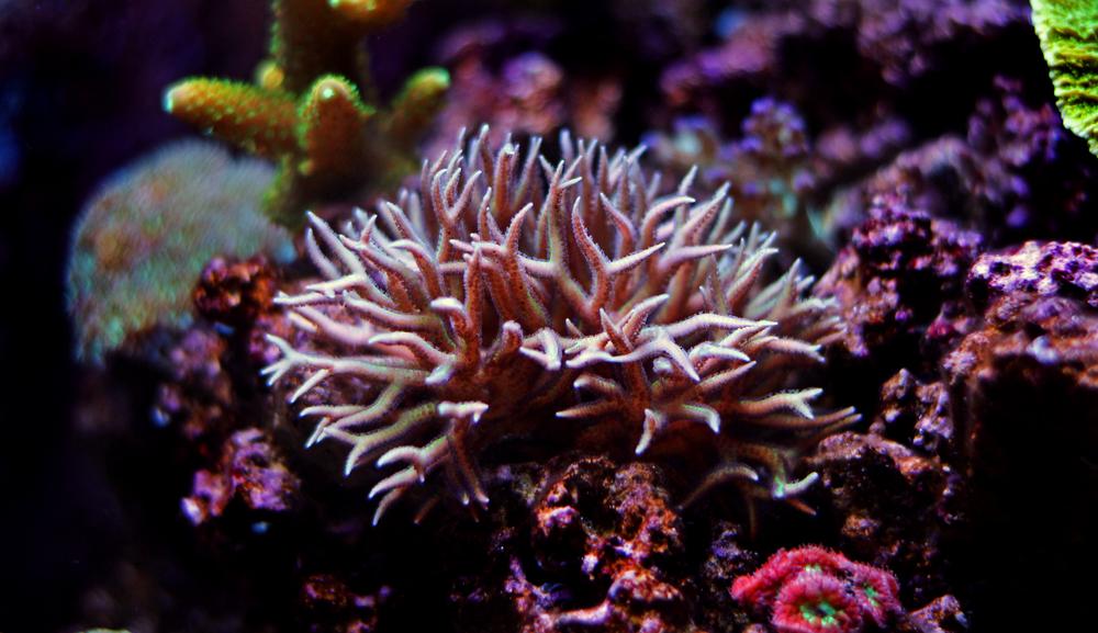Seriatopora hystrix coral