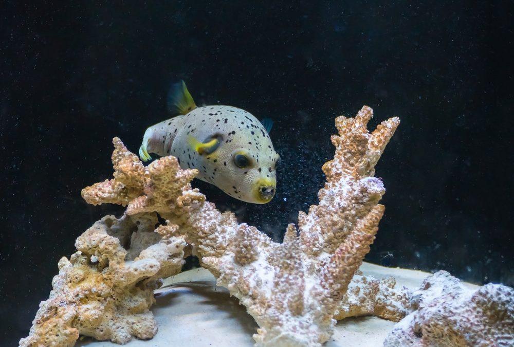 saltwater puffer fish