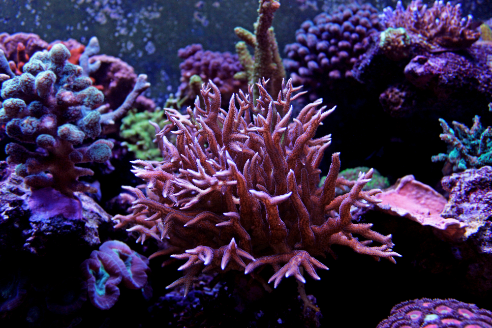 sps corals in saltwater reef tank