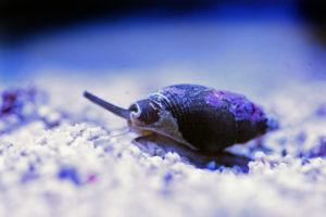 Nassarius snail in reef tank
