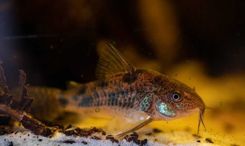 peppered cory