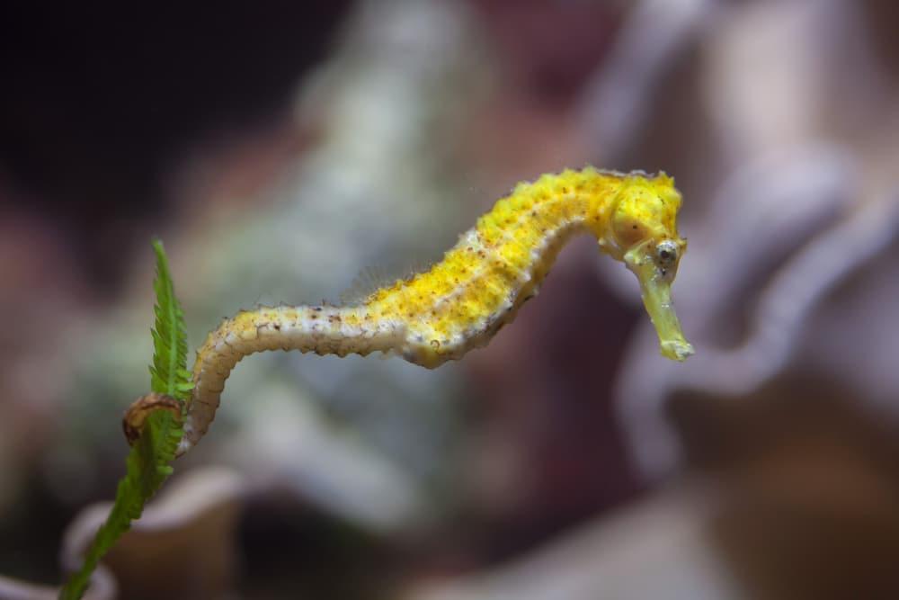 Slender seahorse (Hippocampus reidi)