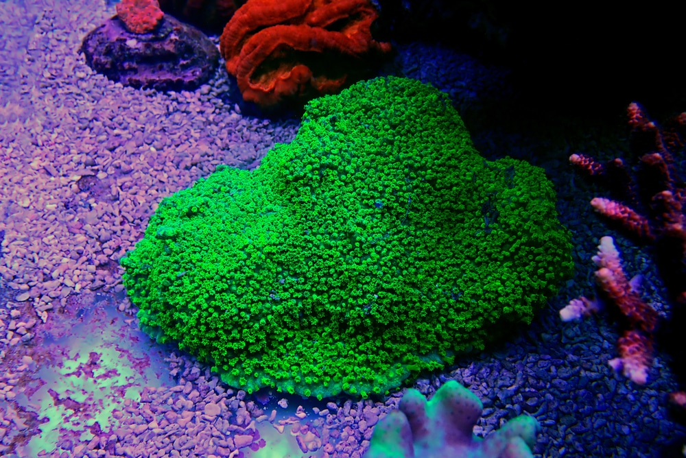 Cyphastrea coral in reef tank