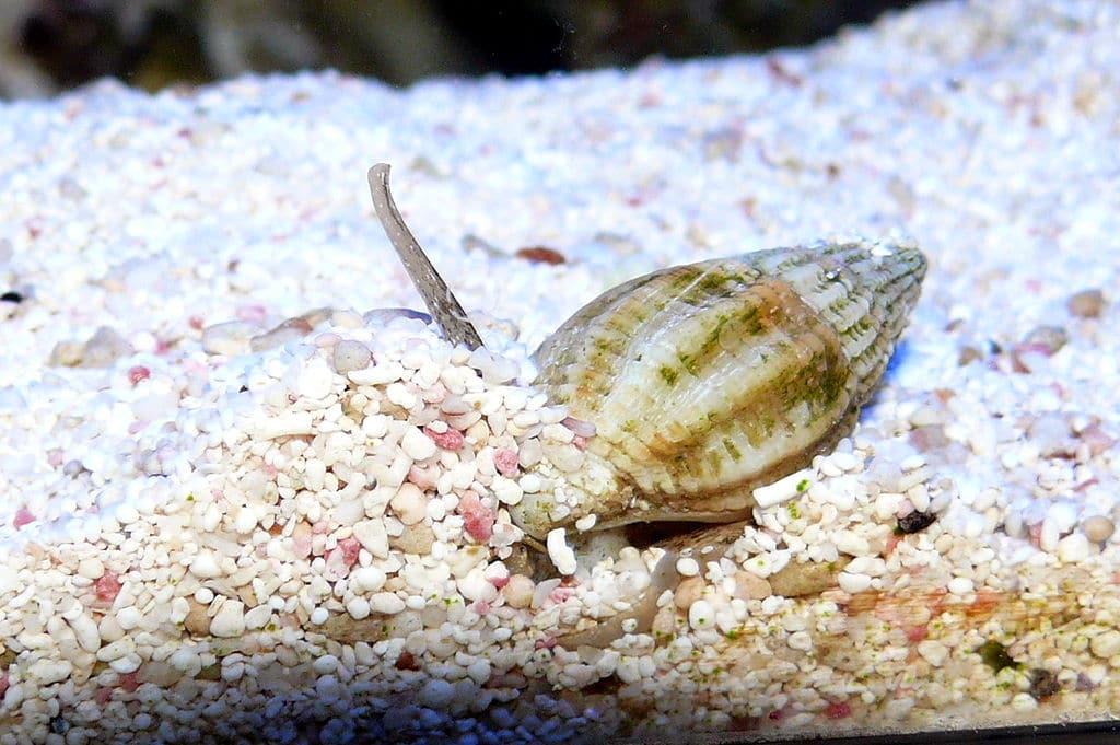 cerith snail