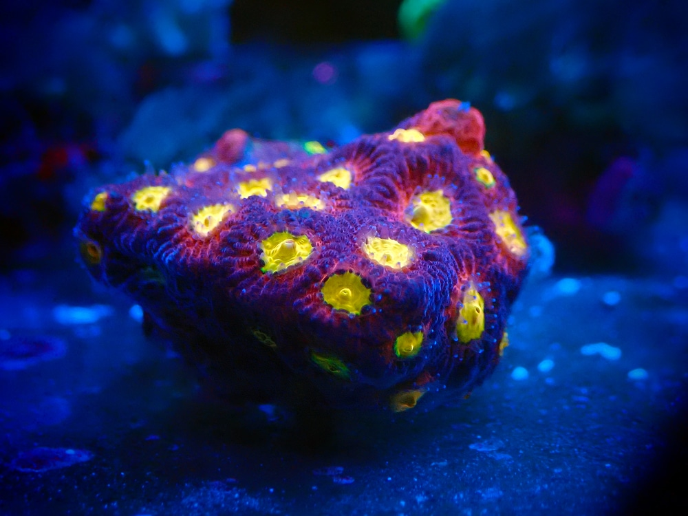 favia coral