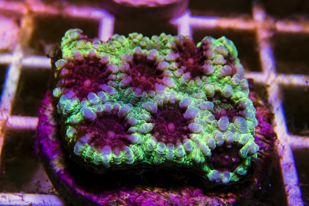 green favia coral