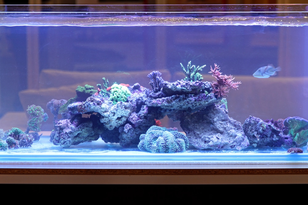 reef tank with coral