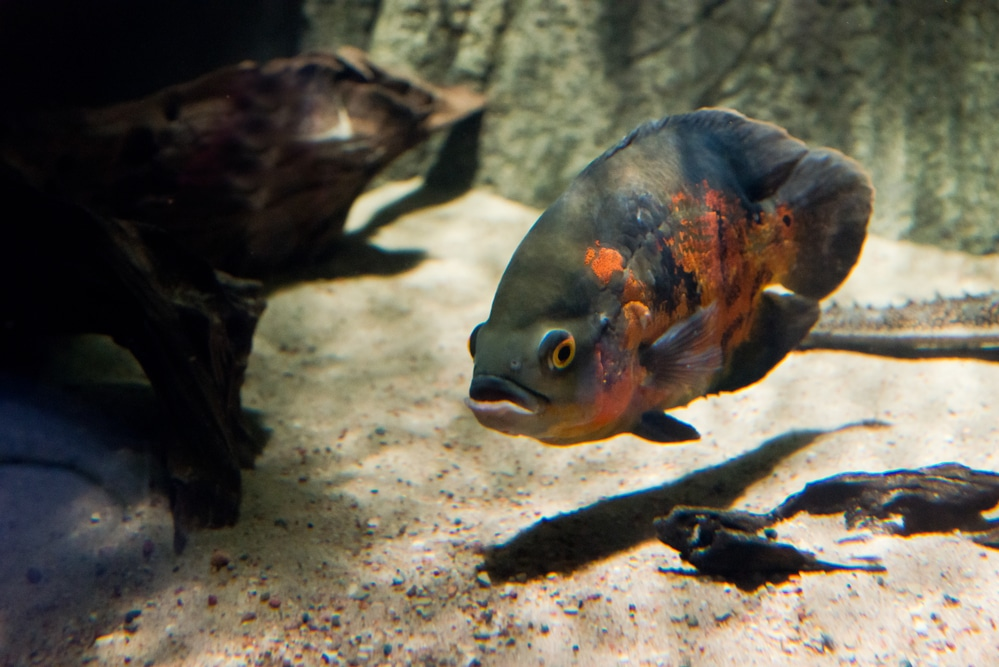 Oscar fish with sand substrate